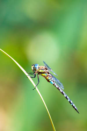dragonfly, Aeshna cyanea, insect on spring pond. Europe, Czech republic wildlife