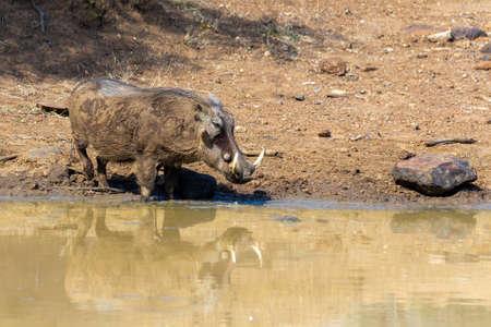 African pig Warthog on waterhole in Pilanesberg game reserve, South Africa safari wildlife Stock Photo