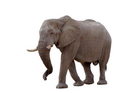walking big african Elephant isolated on white background, graphic object