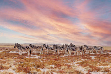herd of Zebra in african bush. Etosha National Park, Ombika, Kunene, Namibia. Africa safari Wildlife. Landscape with sunset colors 免版税图像