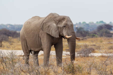 Majestic African Elephant drinking in waterhole in Etosha National Park, with group of giraffes in background, Namibia africa safari wildlife Stock Photo