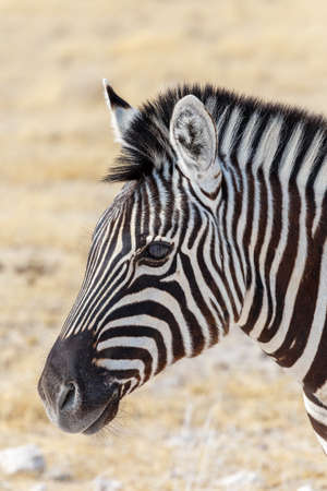 Zebra in african bush. Etosha National Park, Ombika, Kunene, Namibia. Wildlife.