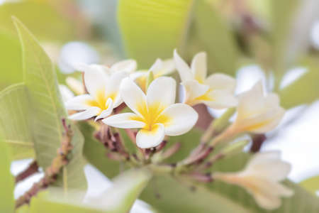 white decorative plumeria flower in bloom. Ethiopia nature garden