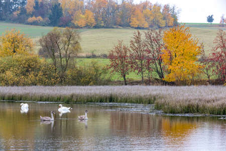 The cool autumn morning at the pond with mutted swan and grown chicken, autumn landscape, Jihlava Vysocina, Czech Republic Europe