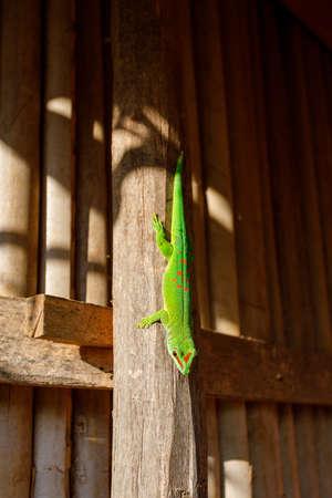 Phelsuma Day Geckos (Phelsuma madagascariensis) in people habitat. island Nosy Be, Madagascar wildlife and wilderness Banco de Imagens