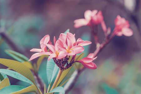 pink flower Frangipani, Plumeria spy flower for decoration, Nosy be, Madagascar wilderness