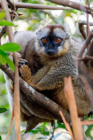 Common brown lemur, Eulemur fulvus, on the tree, in natural habitat, Andasibe - Analamazaotra National Park, Madagascar wildlife
