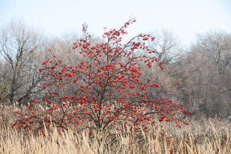 Autumn Foliage and Red Berries on Sorbus aucuparia, commonly called rowan tree. Czech Republic, Europe nature landscape Banco de Imagens