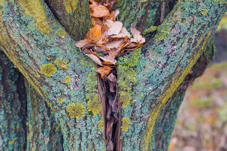 heart-shaped tree trunk with fall leaves. Natural Valentine's Day. Bark of tree. Autumn leaves.