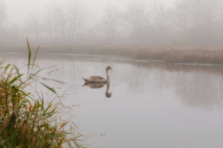young mute swan morning at the misty pond, autumn Jihlava Vysocina, Czech Republic Europe wildlife