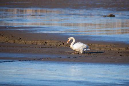 Dirty White Swan walking on Muddy empty pond. Czech Republic nature, Europe wildlife Banco de Imagens