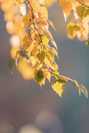 beautiful autumn yellow birch leaves. Autumn Landscape background. Fall abstract background with golden birch. autumnal naturebackdrop for design. shallow depth of field