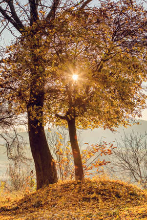 beautiful scene with birch tree in yellow autumn colors with sun in october. Fall concept nature