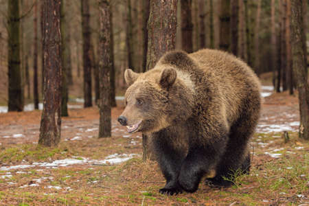 majestic male of brown bear (Ursus arctos) in winter forest, Europe, Czech republic wildlife