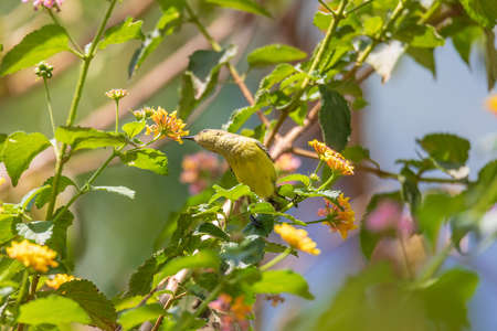 Olive-backed Sunbird (Cinnyris jugularis), also known as the yellow-bellied sunbird feeds nectar from flower, Wondo Genet Wabe Ethiopia wildlife