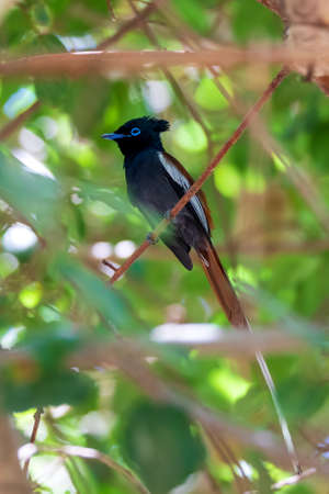 male of beautiful colored small bird African Paradise Flycatcher (Terpsiphone viridis) perched on a branch, in rainforest, Lake Ziway, Ethiopia Africa wildlife