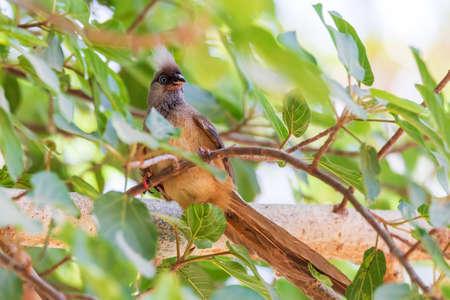 beautiful small bird Speckled mousebird, (Colius striatus) feeding on tree with berries. Lake Ziway Ethiopia wildlife