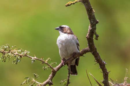 bird White-browed sparrow-weaver (Plocepasser mahali), near Hawassa, Ethiopia wildlife