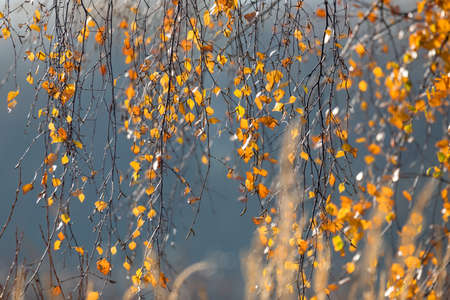 Autumn background. beautiful yellow birch leaves. autumnal nature backdrop for design with shallow depth of field Banco de Imagens