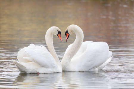 Couple Of Swans Forming Heart on pond in fall season, Czech Republic, Europe wildlife