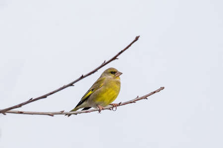 European greenfinch - Carduelis chloris On Nature Branch Tree in winter time