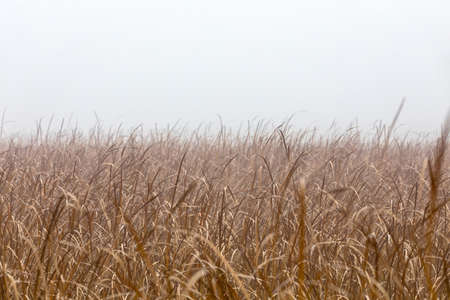 orange reeds in misty morning. Brushwood of cane blowing in the wind. Autumn natural scene