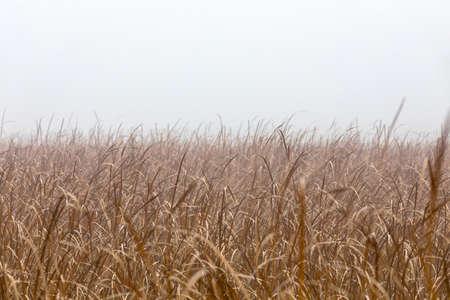 orange reeds in misty morning. Brushwood of cane blowing in the wind. Autumn natural scene Banco de Imagens