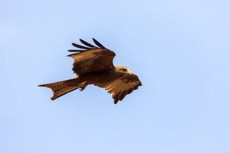 bird of prey Black kite flying against sky, Milvus migrans, Ethiopia safari wildlife Reklamní fotografie