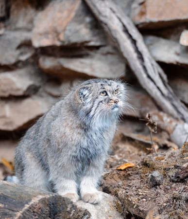 beautiful cat, Pallass cat, Otocolobus manul. Wild cat with a broad but fragmented distribution in the grasslands and montane steppes. Central Asia, wildlife Foto de archivo