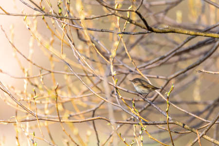 small song bird Willow Warbler (Phylloscopus trochilus) sitting on the branch. Little songbird in the natural habitat. Spring time. Czech Republic, Europe wildlife