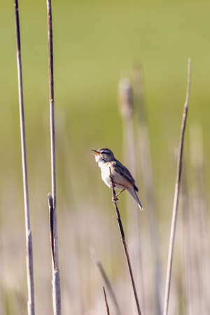 small song bird Sedge warbler (Acrocephalus schoenobaenus) sitting on the reeds. Little songbird in the natural habitat. Spring time. Czech Republic, Europe wildlife