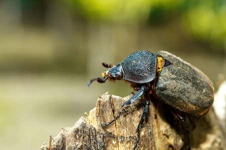 beetle in Tangkoko rainforest. Rhinoceros beetle, Rhino beetle, Hercules beetle, Horn beetle female. Indonesia wildlife