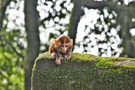 Baby Macaque Preparing to Jump photo