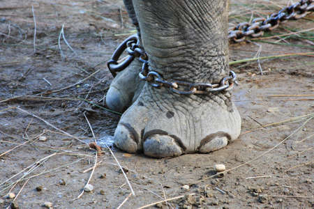 animal fight: Elephant in Chains
