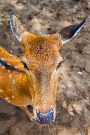 young sika deer squeaks a meal