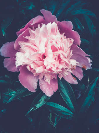 beautiful blooming peonies with dewdrops