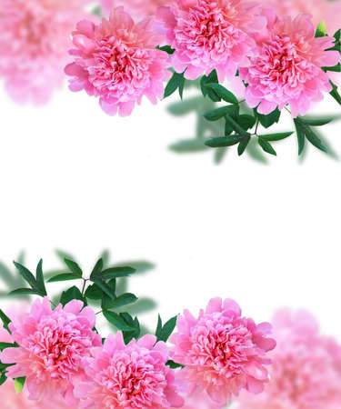 flores moradas: frame of flowers peony with leaves on a white background
