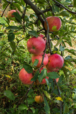 scab: apple tree branch with apples and leaves disease scab Stock Photo