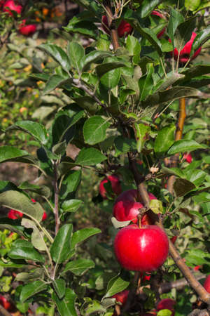 scab: apple tree branch with apples and leaves disease scab closeup Stock Photo