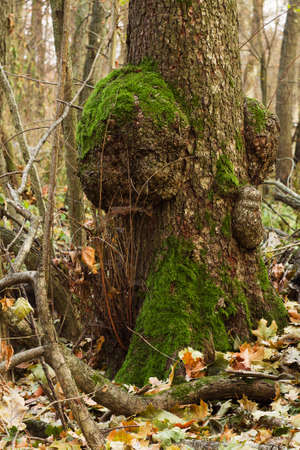 tree roots: green moss on a tree trunk in autumn forest