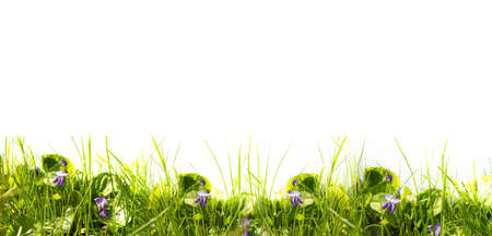 multiple images: spring green grass and flowers of violets on a sunny day on a white background. Panoramic photo from multiple images