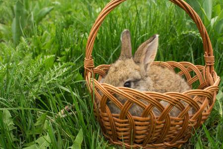 petit bébé lapin brun dans un panier sur l'herbe verte. Flou artistique
