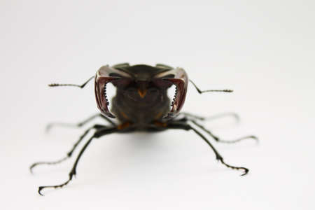 mandibles: horns stag beetle closeup on a light background, shallow depth of field Stock Photo