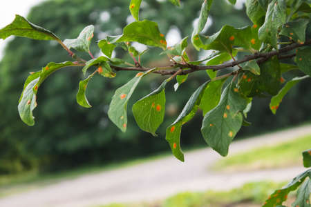 affected: natural photo plum tree branche with leaves affected by the disease Stock Photo
