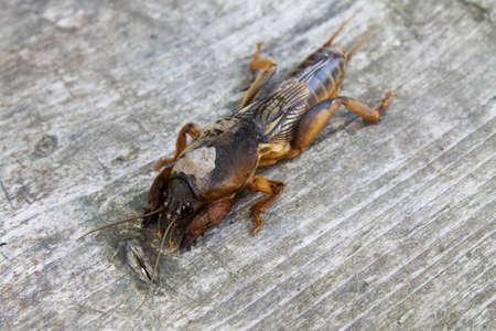 saboteur: mole cricket on a gray wooden background closeup Stock Photo
