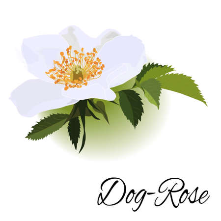 Hand-drawing realistic flower with green leaves dogrose Illustration