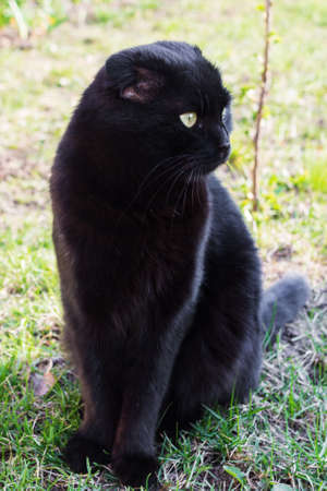 Beautiful black cat is sitting on the grass close-up. Candid photo