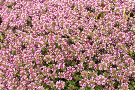 Background of a ground cover plant with small pink flowers thyme background of a ground cover plant with small pink flowers thyme creeping stock photo mightylinksfo