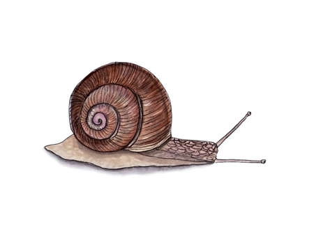 Watercolor of beautiful brown snail with shadow for interesting design on white