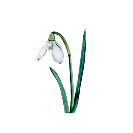 Watercolor illustration of beautiful snowdrop for delicate design on white isolated background.